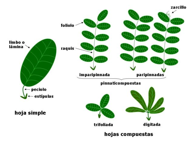 Morfolog a de las hojas for Tipos de arboles y su significado