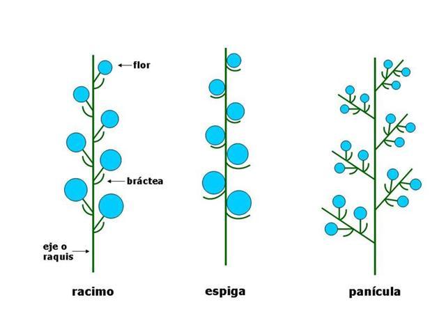 Morfología Inflorescencia