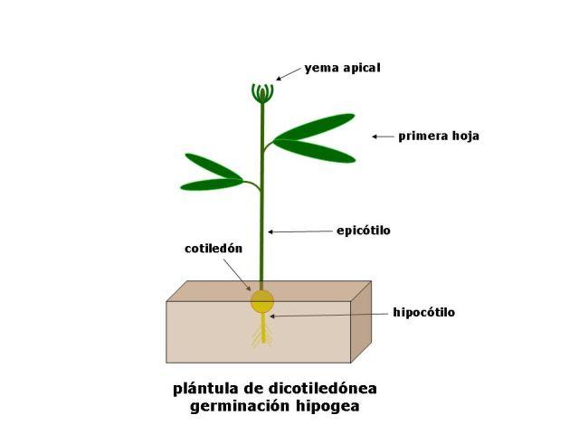 Morfología De Las Plántulas